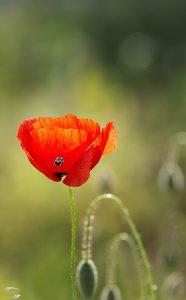 Bild einer Kornblume