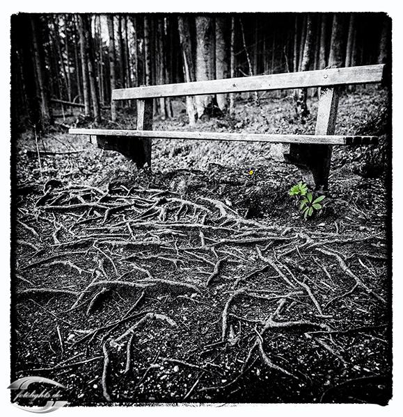 Bild einer Holzbank und Baumwurzeln im Boden in Schwarz-Weiß