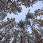 Blick in den Himmel zwischen Bäumen hindurch im Winter