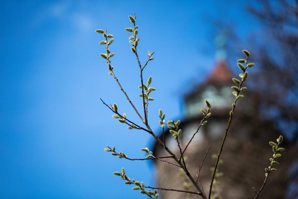 Bild von ersten Trieben eines Baumes vor dem Sinnwellturm