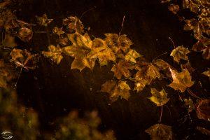 Bild von goldenem Herbstlaub in einer Pfütze